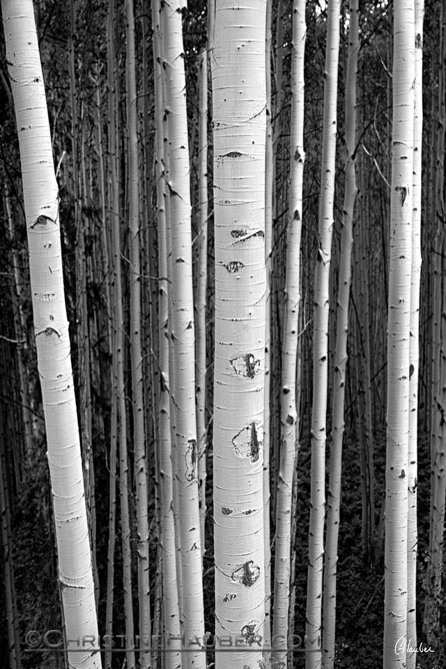 Aspen Trees in Black and White