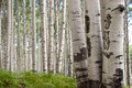 Aspen Grove in Crested Butte