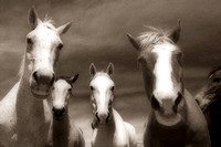 curious horses photography in sepia tone colors